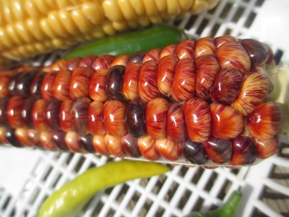 Striped Corn